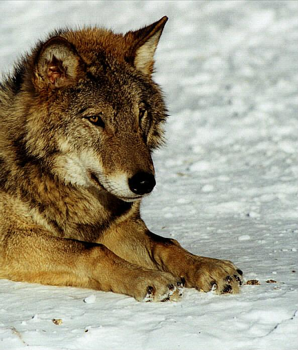 """photo """"Sight of the wolf"""" tags: nature, wild animals"""