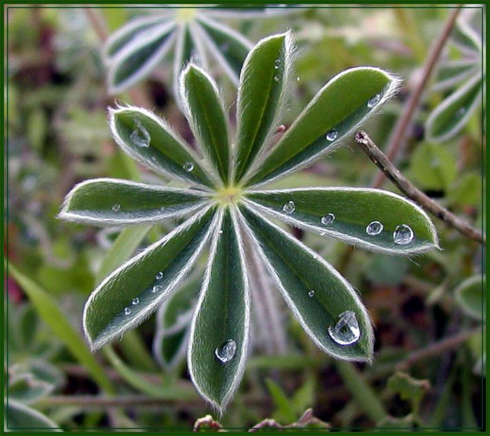 """фото """"звёздочка в траве"""" метки: макро и крупный план,"""