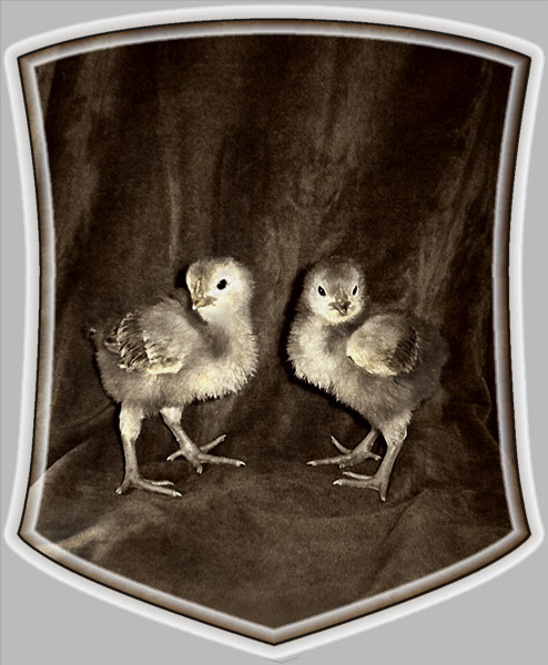 "photo ""Chicken symbolics"" tags: nature, pets/farm animals"