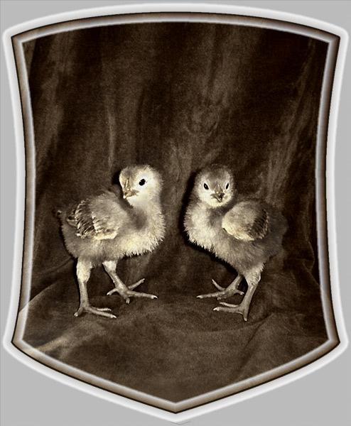 "photo ""Chicken symbolics"" tags: nature, pets/farm animals"