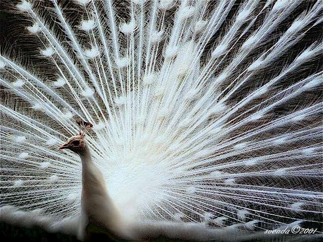 "фото ""White Beauty"" метки: природа, домашние животные"