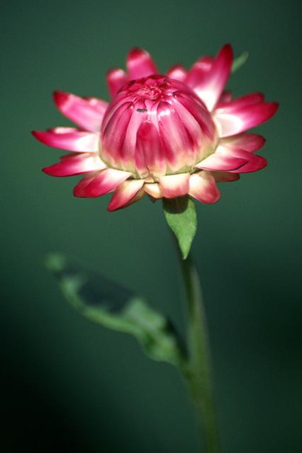 """photo """"Strawflower (Helichrysum bracteatum)"""" tags: macro and close-up, nature, flowers"""