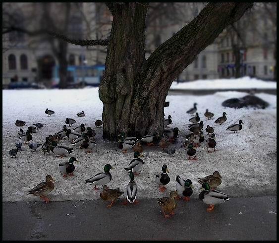 """фото """"Ducks in the Central Park: Hanging on and around"""" метки: пейзаж, природа, зима"""