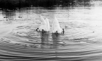 "photo ""Scared Swanes"" tags: humor, nature, wild animals"