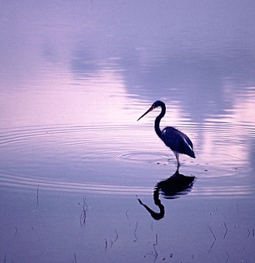 """фото """"Heron at Sunset"""" метки: природа, пейзаж, дикие животные, закат"""