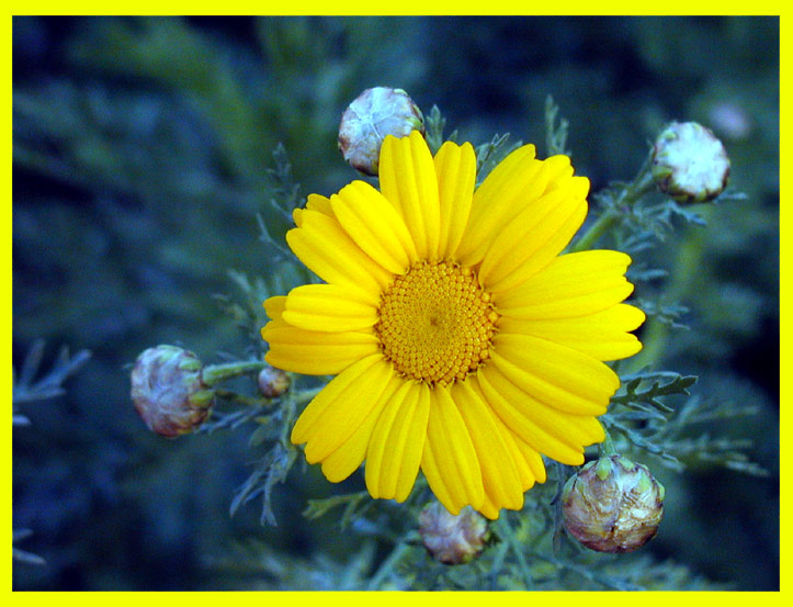 "photo ""A Yellow One"" tags: macro and close-up, nature, flowers"