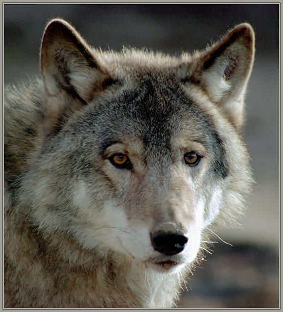 """фото """"""""Серый"""""""" метки: портрет, природа, дикие животные"""