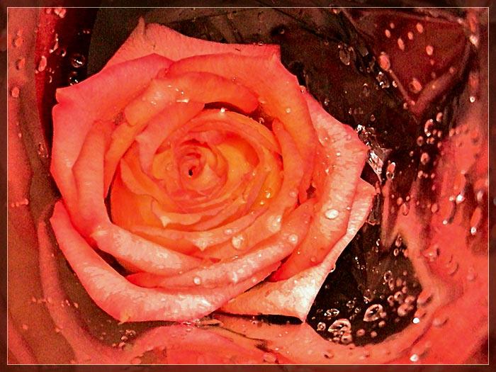"""фото """"Она цвела, глотая слезы..."""" метки: природа, цветы"""