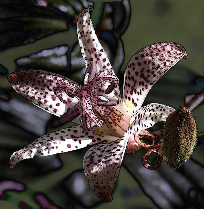"photo ""tricyrtis"" tags: nature, macro and close-up, flowers"