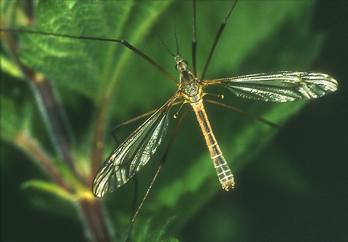 "photo ""Crane-fly"" tags: nature, macro and close-up, insect"