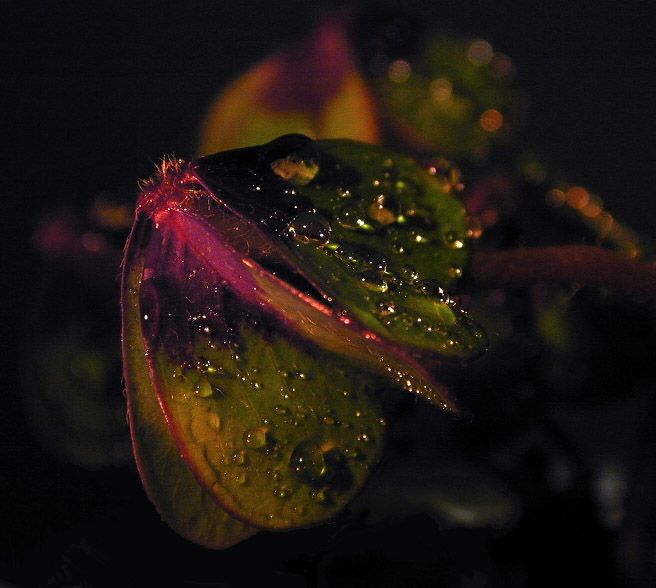 "photo ""Drops III"" tags: macro and close-up, nature, flowers"