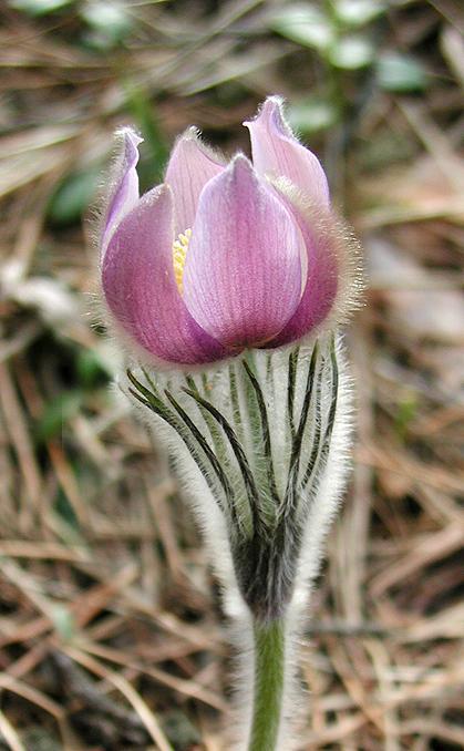 """фото """"Сон-трава"""" метки: природа, цветы"""