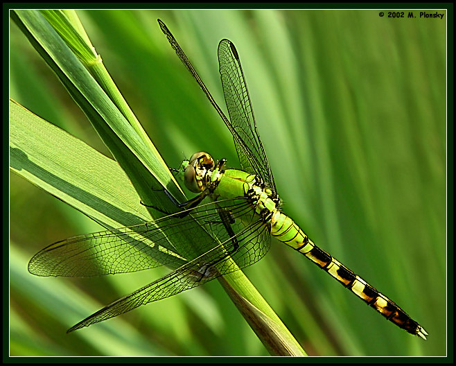 "photo ""Green Dragon"" tags: macro and close-up, nature, insect"