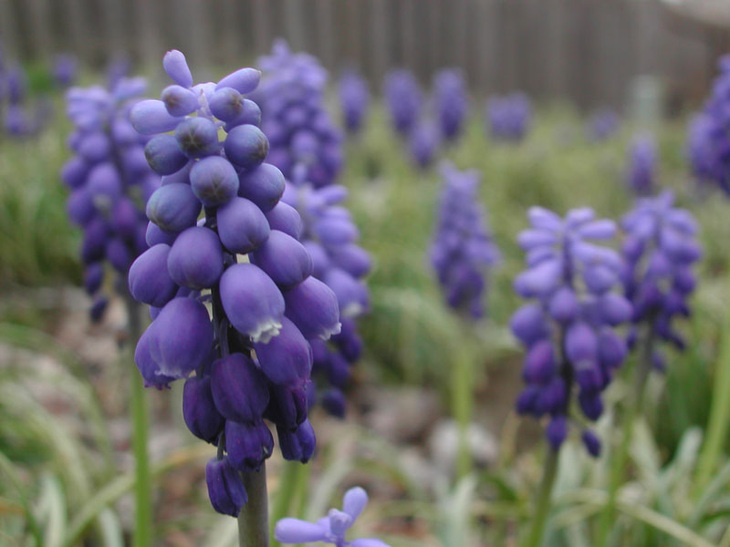 "фото ""Closeup of Blue Flowers in Backyard"" метки: природа, пейзаж, весна, цветы"