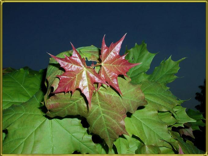 "фото ""Вечерний клён"" метки: природа, цветы"
