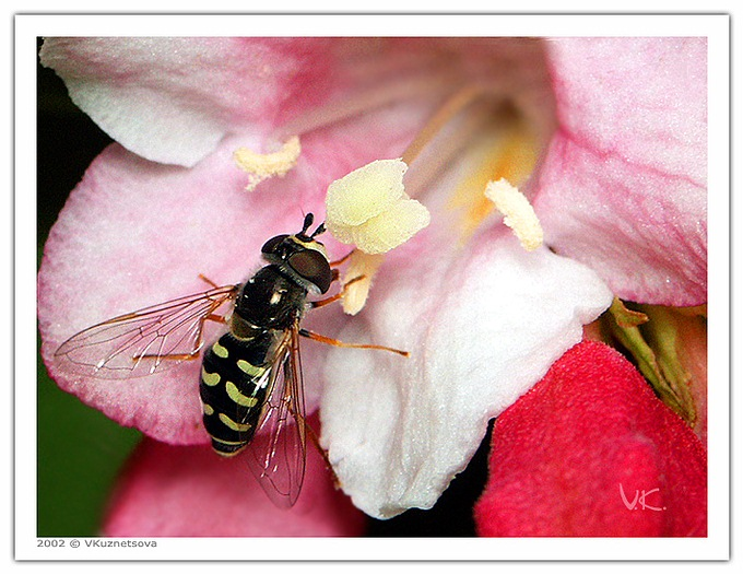 "photo ""Lunch time"" tags: macro and close-up, nature, insect"