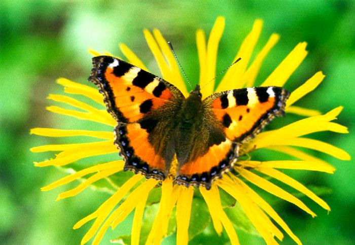 """фото """"Крапивница"""" метки: природа, макро и крупный план, насекомое"""