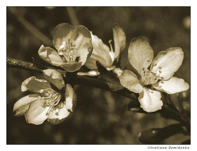 """фото """"Цветы из прошлого"""" метки: природа, макро и крупный план, цветы"""