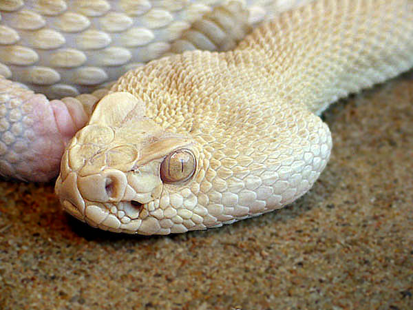 "photo ""Albino Western Rattle Snake"" tags: nature, wild animals"