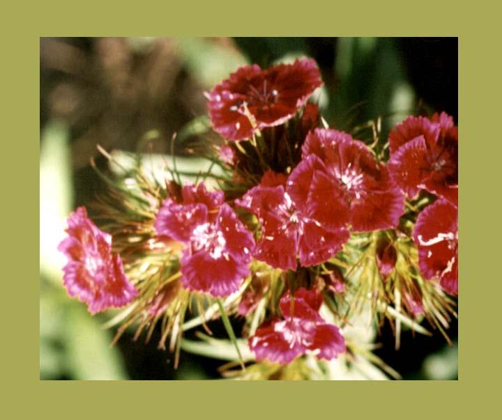 """фото """"цветы из моего сада"""" метки: природа, макро и крупный план, цветы"""