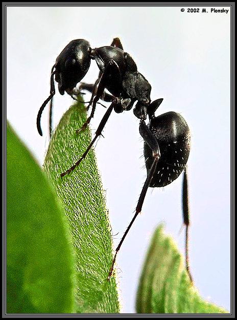 """фото """"The uppitty Ant"""" метки: макро и крупный план, природа, насекомое"""