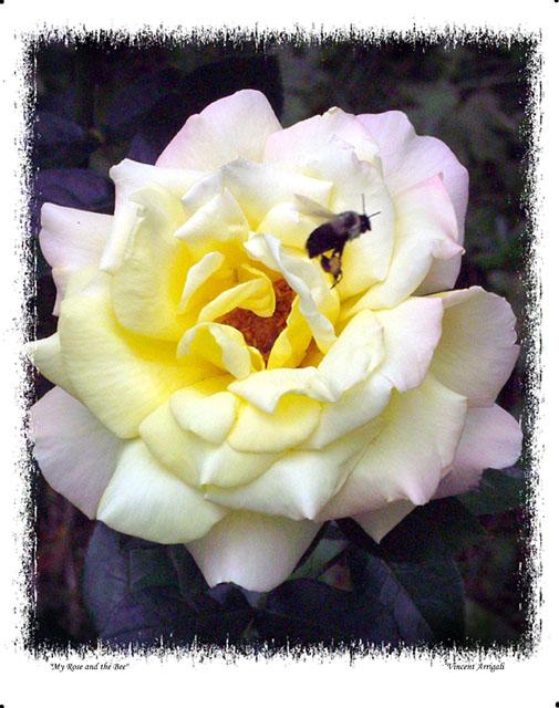 "фото ""My Rose and the Bee"" метки: макро и крупный план, природа, цветы"
