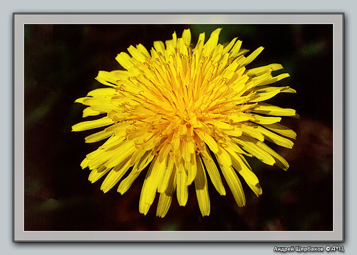 "photo ""Golden dandelion..."" tags: macro and close-up, nature, flowers"