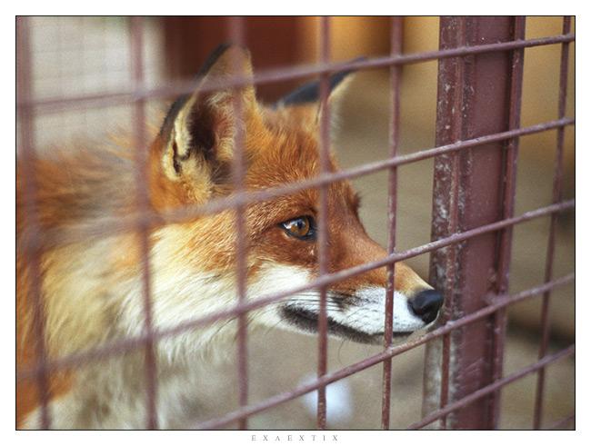 "фото ""FOX"" метки: природа, дикие животные"