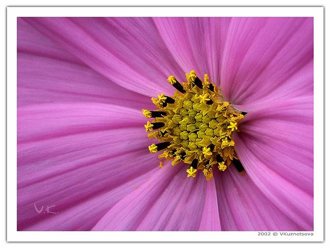 """фото """"-***-"""" метки: макро и крупный план, природа, цветы"""