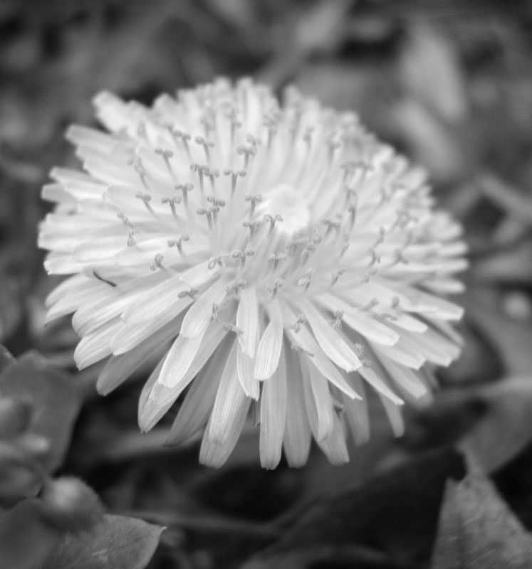 "photo ""Black and White Dandelion"" tags: nature, macro and close-up, flowers"