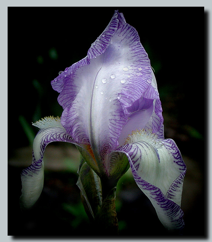 "photo ""Iris"" tags: nature, macro and close-up, flowers"
