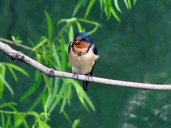 "фото ""Barn Swallow"" метки: природа, дикие животные"