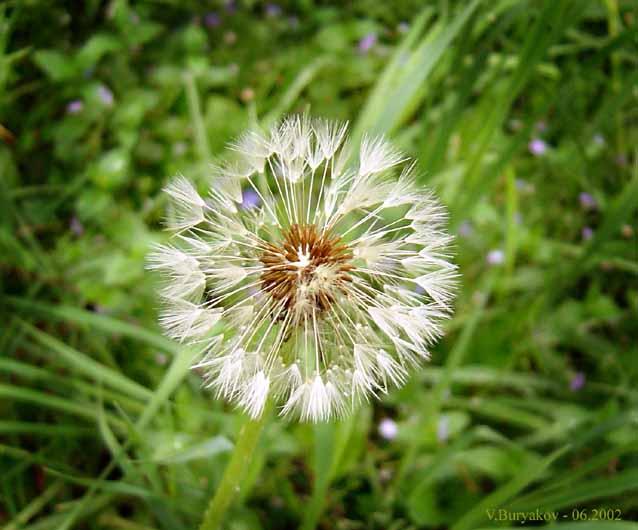 """фото """"Одуванчик"""" метки: природа, макро и крупный план, цветы"""