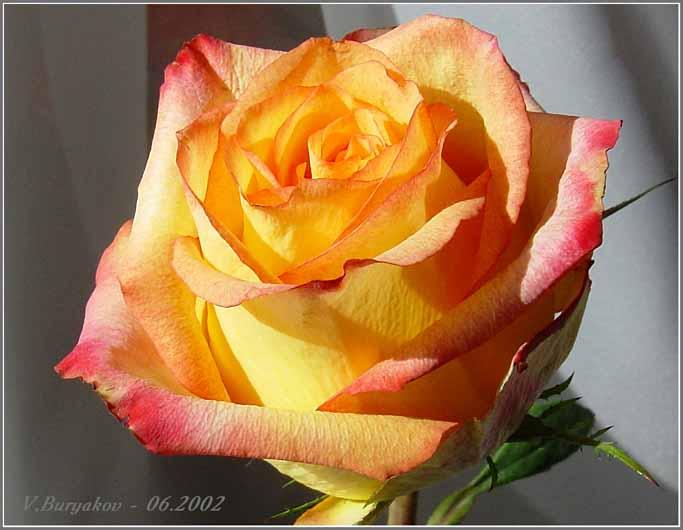 """фото """"Роза"""" метки: природа, макро и крупный план, цветы"""