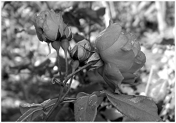 "photo ""Flowers in Black and White"" tags: nature, flowers"