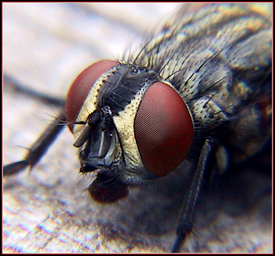 "photo ""Fly Eyes"" tags: macro and close-up, nature, insect"