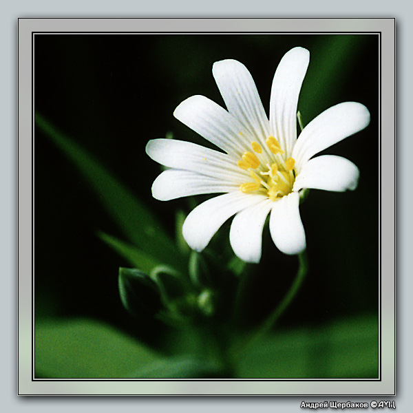 """photo """"Stellaria Holostea"""" tags: macro and close-up, nature, flowers"""