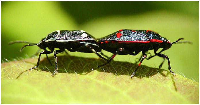 """фото """"Белые и красные"""" метки: природа, юмор, насекомое"""