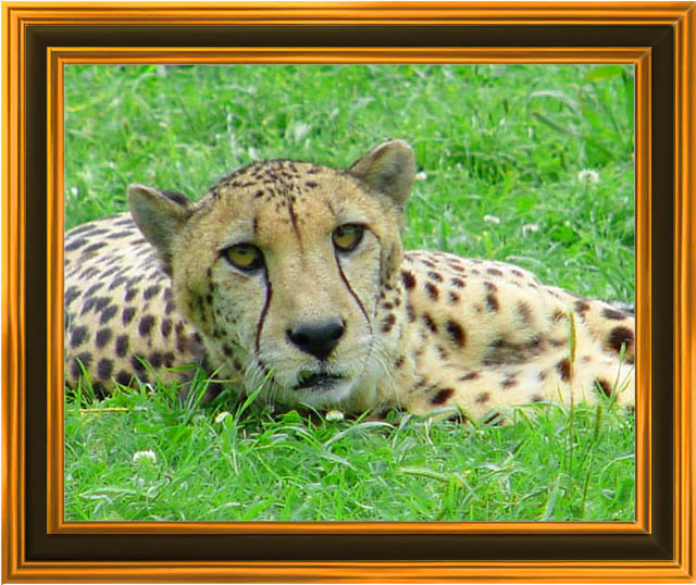 "photo ""Cheetah"" tags: nature, wild animals"