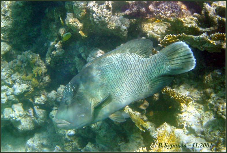 """фото """"Napoleon-fish"""" метки: природа, путешествия, Африка"""