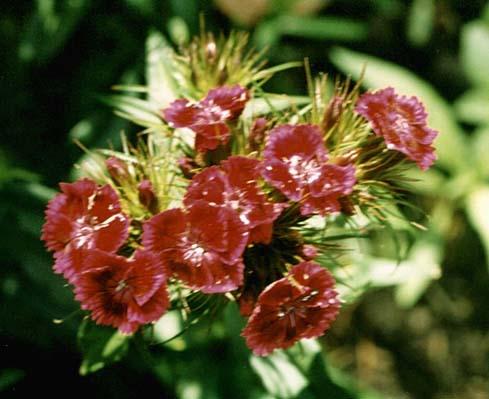 """фото """"цветы из моего сада-2"""" метки: природа, макро и крупный план, цветы"""