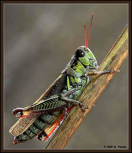 "photo ""Backlit Grasshopper"" tags: macro and close-up, nature, insect"