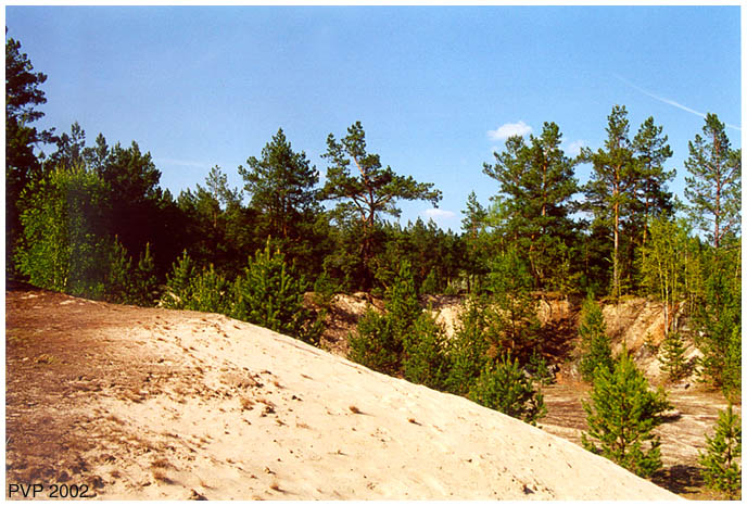 "photo ""Sand and Pine"" tags: landscape, forest, summer"