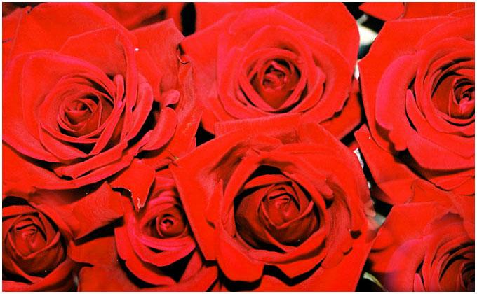 """фото """"RED Rose"""" метки: макро и крупный план, природа, цветы"""