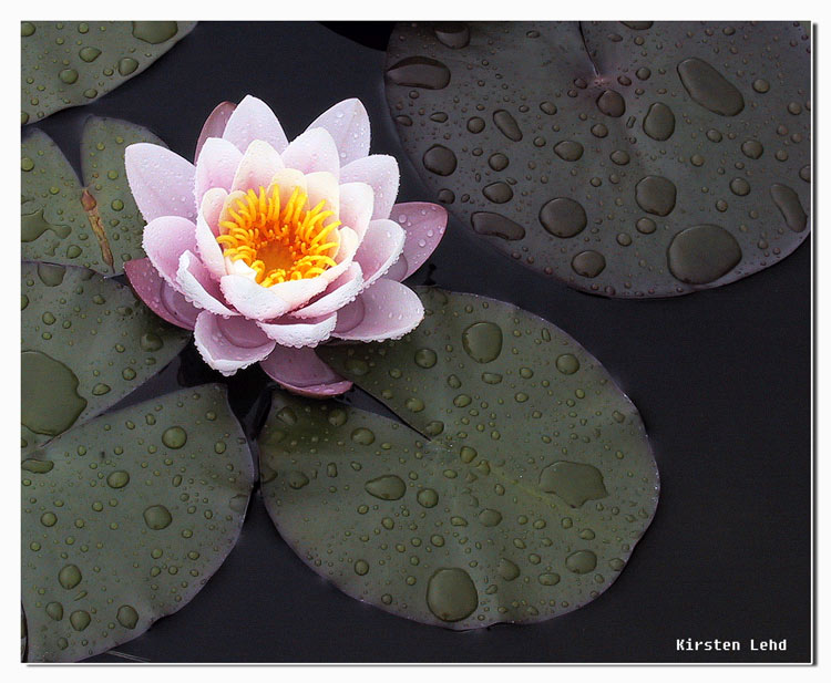 "photo ""waterlily"" tags: nature, flowers"