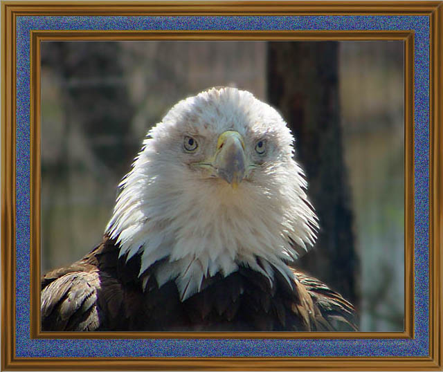 "photo ""Bald Eagle"" tags: nature, wild animals"