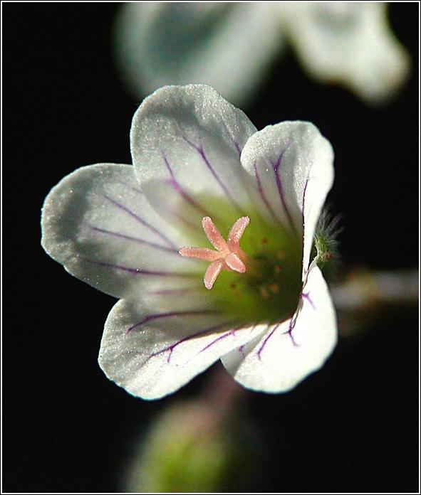 """фото """"Лесные Золушки"""" метки: природа, макро и крупный план, цветы"""