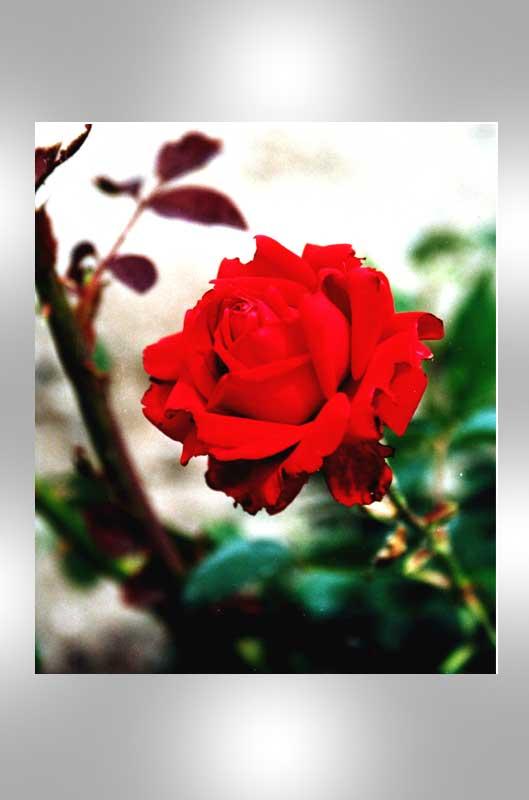 """фото """"Oh my love, it's like a red, red rose…"""" метки: макро и крупный план, природа, цветы"""