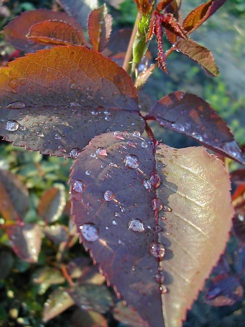 """фото """"вечерняя роса"""" метки: макро и крупный план, природа, цветы"""