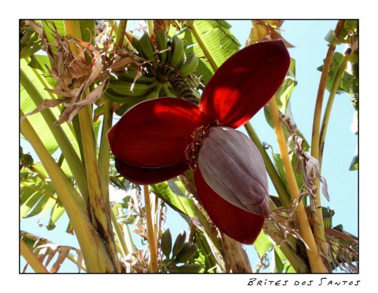 "фото ""Banana tree with flower"" метки: жанр, природа, цветы"
